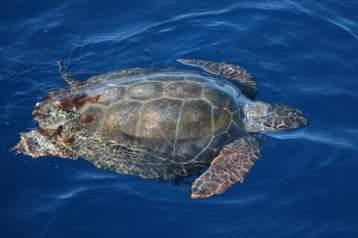 Corsi 2013 per studiare e proteggere le tartarughe marine for Tartarughe in amore